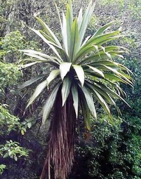Cordyline indivisa forums plantes exotiques - Cordyline feuilles qui jaunissent ...