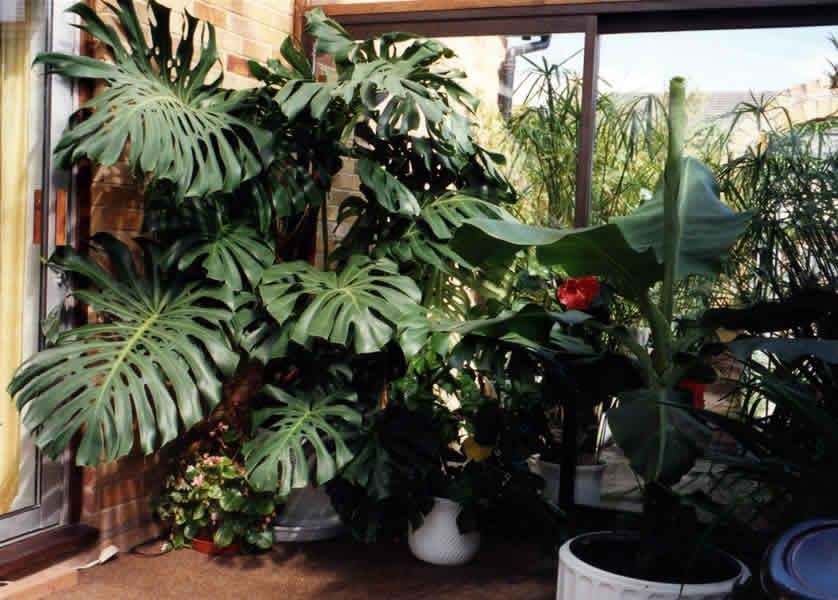 Piante Tropicali Da Appartamento.Piante D Appartamento