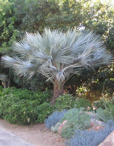 Brahea Armata Palms Hardy Tropicals Uk