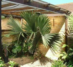 Howie, the Howea Palm, or a Sabal in disguise